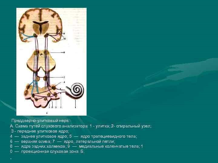 Преддверно-улитковый нерв. А. Схема путей слухового анализатора: 1 - улитка; 2 - спиральный