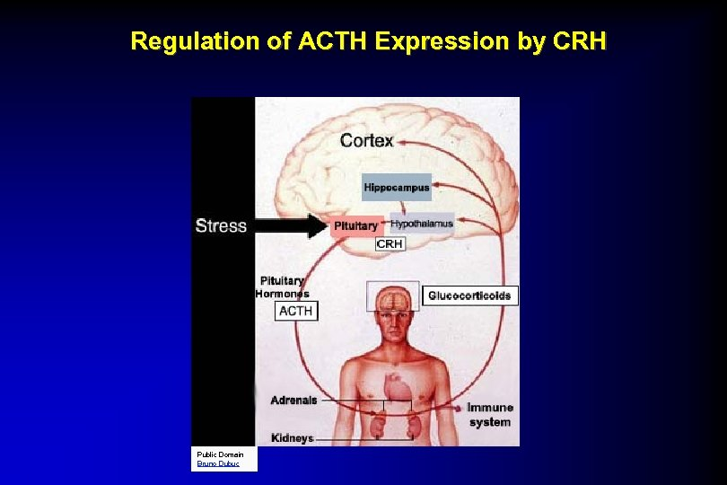 Regulation of ACTH Expression by CRH Public Domain Bruno Dubuc
