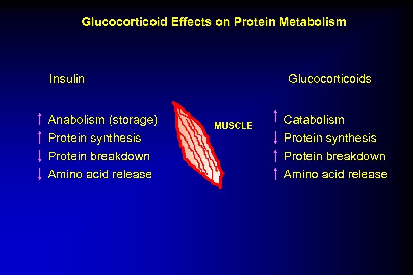 Glucocorticoid Effects on Protein Metabolism Insulin Anabolism (storage) Protein synthesis Protein breakdown Amino acid
