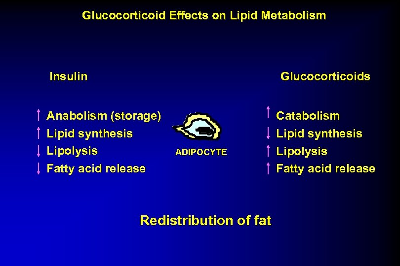 Glucocorticoid Effects on Lipid Metabolism Insulin Glucocorticoids Anabolism (storage) Lipid synthesis Lipolysis Fatty acid