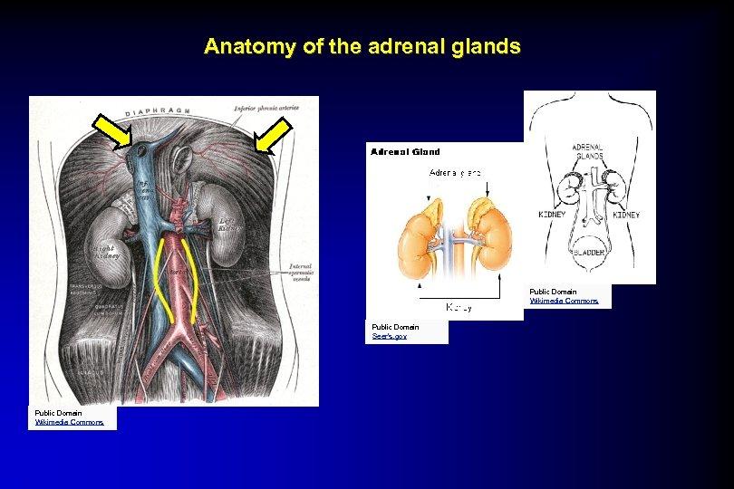 Anatomy of the adrenal glands Public Domain Wikimedia Commons Public Domain Seer's. gov Public