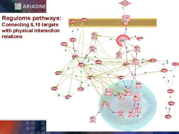 Regulome pathways: Connecting IL 10 targets with physical interaction relations © 2006 Ariadne Genomics.