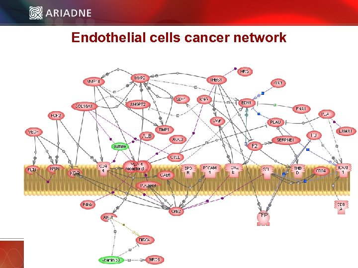 Endothelial cells cancer network © 2006 Ariadne Genomics. All Rights Reserved. 33