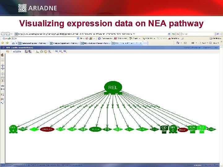 Visualizing expression data on NEA pathway © 2006 Ariadne Genomics. All Rights Reserved. 52