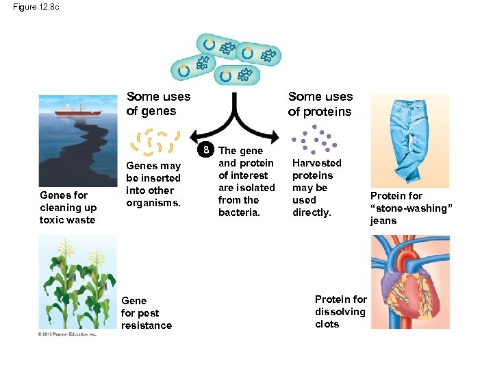 Figure 12. 8 c Some uses of genes Genes for cleaning up toxic waste