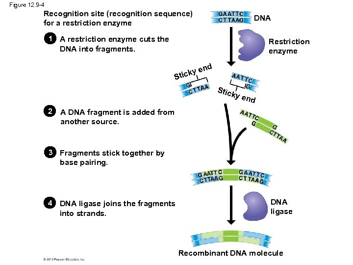 Figure 12. 9 -4 Recognition site (recognition sequence) for a restriction enzyme DNA 1