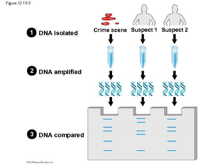 Figure 12. 13 -3 1 DNA isolated 2 DNA amplified 3 DNA compared Crime