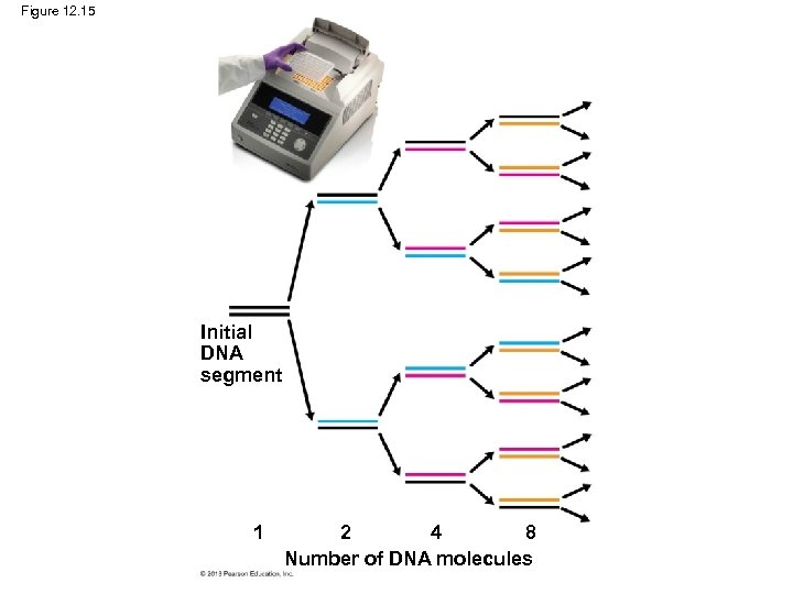 Figure 12. 15 Initial DNA segment 1 2 4 8 Number of DNA molecules