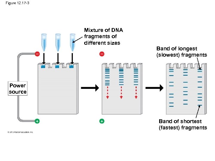 Figure 12. 17 -3 Mixture of DNA fragments of different sizes Band of longest