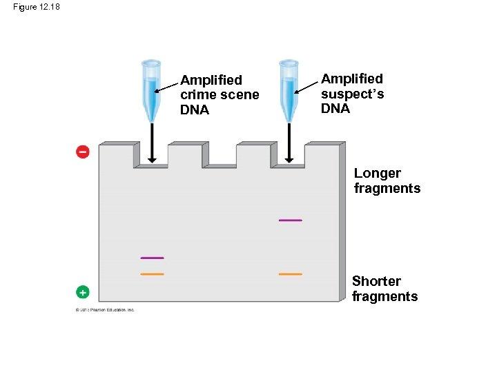 Figure 12. 18 Amplified crime scene DNA Amplified suspect's DNA Longer fragments Shorter fragments