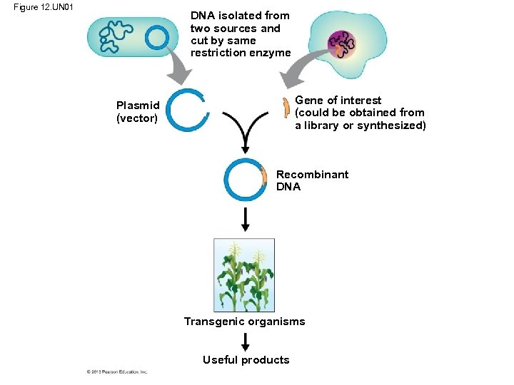Figure 12. UN 01 DNA isolated from two sources and cut by same restriction