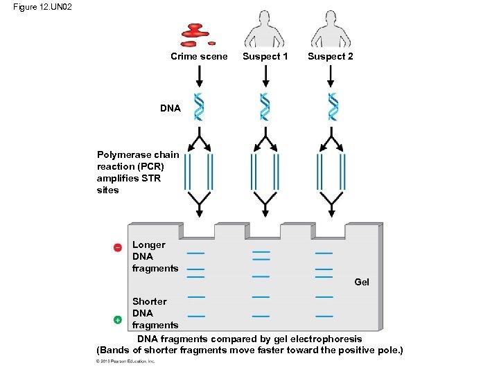 Figure 12. UN 02 Crime scene Suspect 1 Suspect 2 DNA Polymerase chain reaction