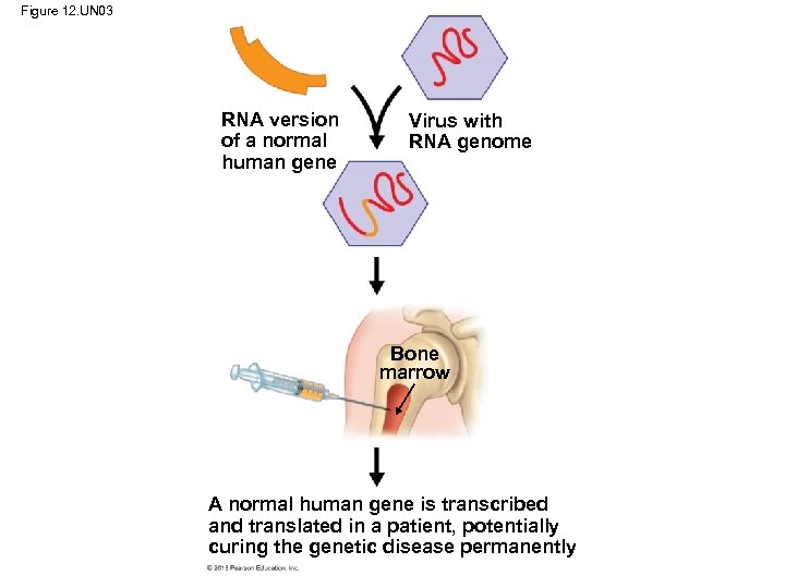 Figure 12. UN 03 RNA version of a normal human gene Virus with RNA