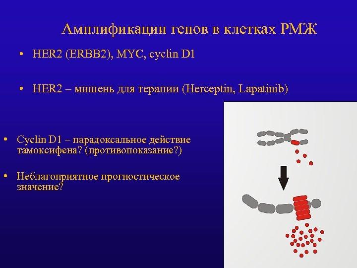 Амплификации генов в клетках РМЖ • HER 2 (ERBB 2), MYC, cyclin D 1
