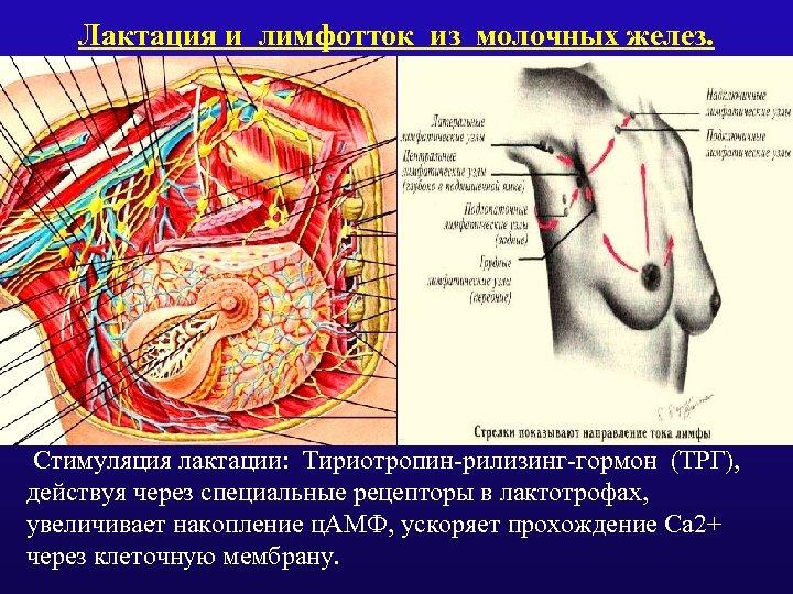 Лактация и лимфотток из молочных желез. Стимуляция лактации: Тириотропин-рилизинг-гормон (ТРГ), действуя через специальные рецепторы