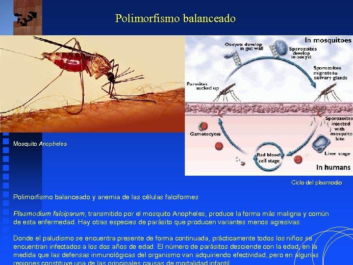 Polimorfismo balanceado Mosquito Anopheles Ciclo del plasmodio Polimorfismo balanceado y anemia de las células