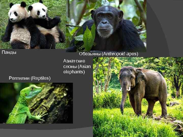 Панды Обезьяны (Anthropoid apes) Азиатские слоны (Asian elephants) Рептилии (Reptiles)