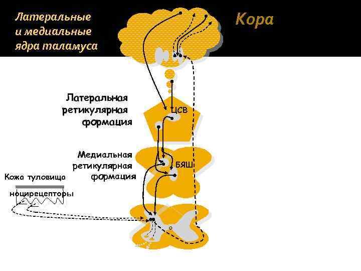 Кора Латеральные и медиальные ядра таламуса Латеральная ретикулярная формация Медиальная ретикулярная формация Кожа туловища