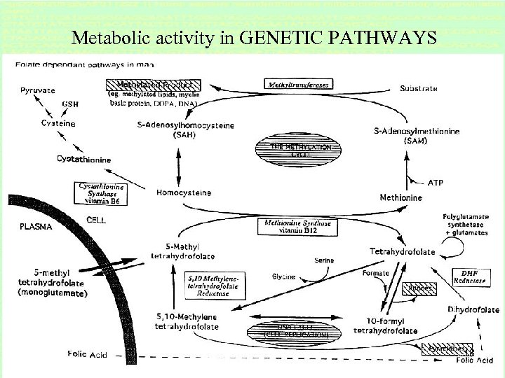 Metabolic activity in GENETIC PATHWAYS 18