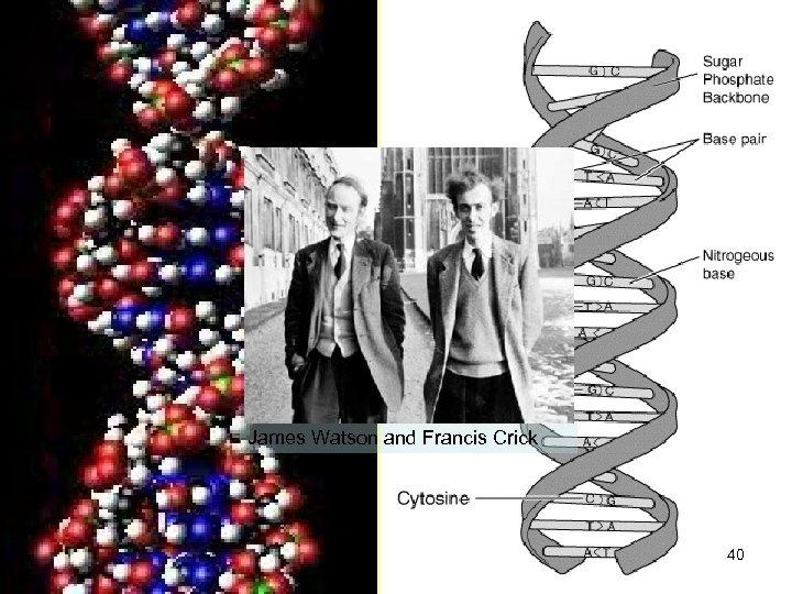 James Watson and Francis Crick 40