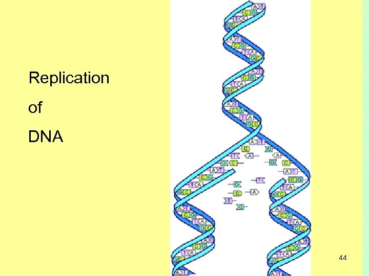 Replication of DNA 44