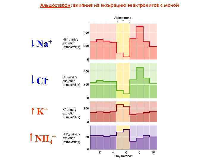 Альдостерон: влияние на экскрецию электролитов с мочой Na+ Cl. K+ NH 4+