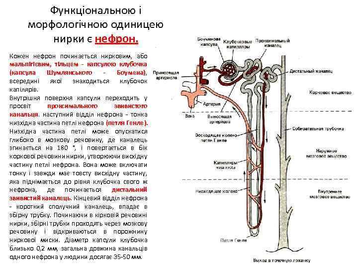 Функціональною і морфологічною одиницею нирки є нефрон. Кожен нефрон починається нирковим, або мальпігієвим, тільцем