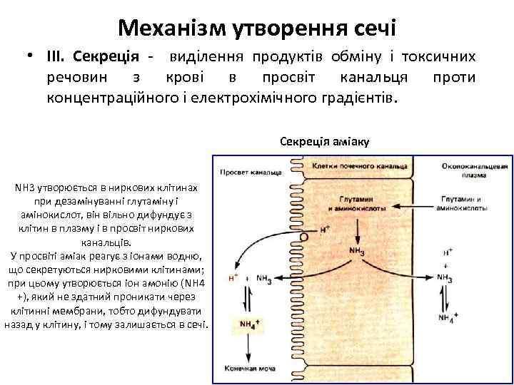 Механізм утворення сечі • ІІІ. Секреція - виділення продуктів обміну і токсичних речовин з