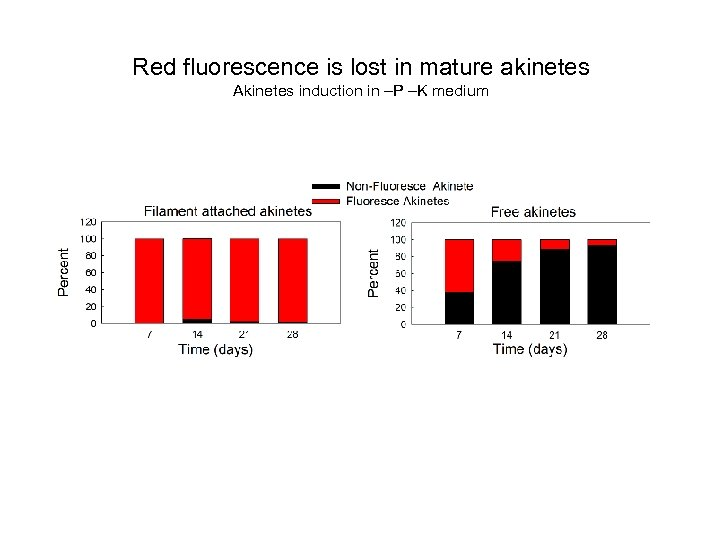 Red fluorescence is lost in mature akinetes Akinetes induction in –P –K medium
