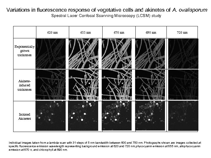 Variations in fluorescence response of vegetative cells and akinetes of A. ovalisporum Spectral Laser
