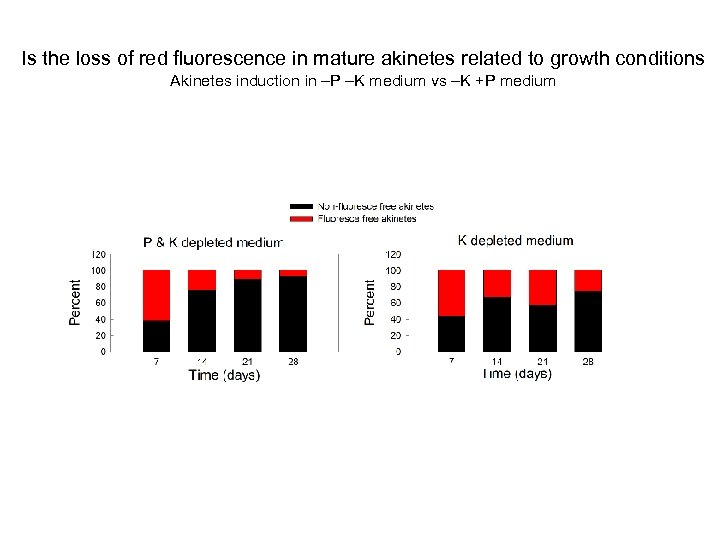 Is the loss of red fluorescence in mature akinetes related to growth conditions Akinetes