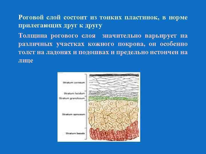 Роговой слой состоит из тонких пластинок, в норме прилегающих друг к другу Толщина рогового