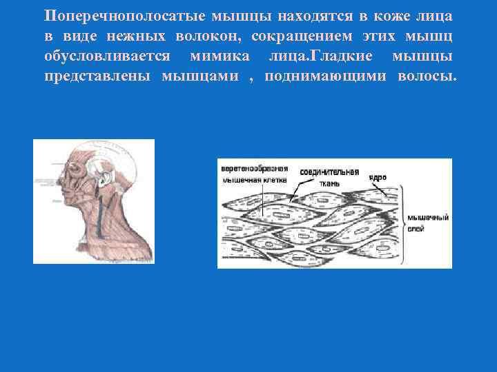 Поперечнополосатые мышцы находятся в коже лица в виде нежных волокон, сокращением этих мышц обусловливается