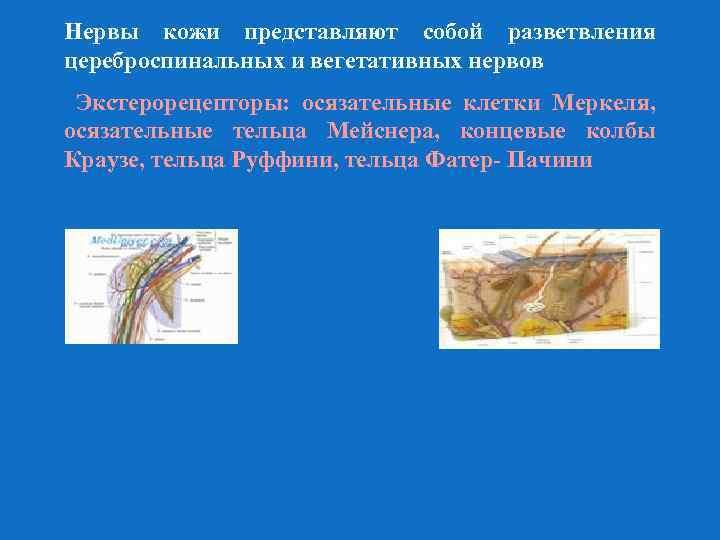 Нервы кожи представляют собой разветвления цереброспинальных и вегетативных нервов Экстерорецепторы: осязательные клетки Меркеля, осязательные