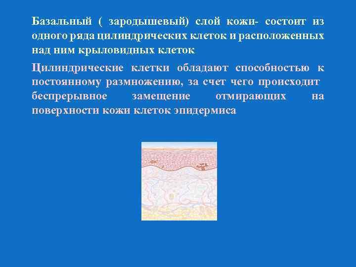 Базальный ( зародышевый) слой кожи- состоит из одного ряда цилиндрических клеток и расположенных над