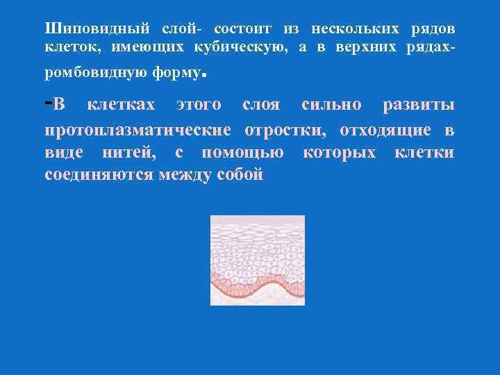 Шиповидный слой- состоит из нескольких рядов клеток, имеющих кубическую, а в верхних рядахромбовидную форму.