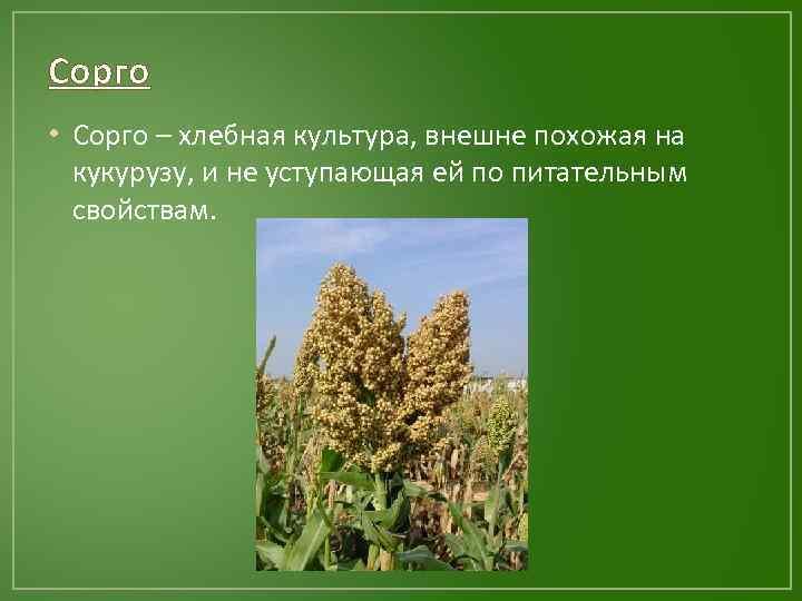 Сорго • Сорго – хлебная культура, внешне похожая на кукурузу, и не уступающая ей