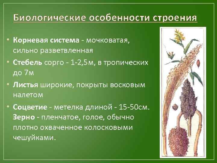 Биологические особенности строения • Корневая система - мочковатая, сильно разветвленная • Стебель сорго -