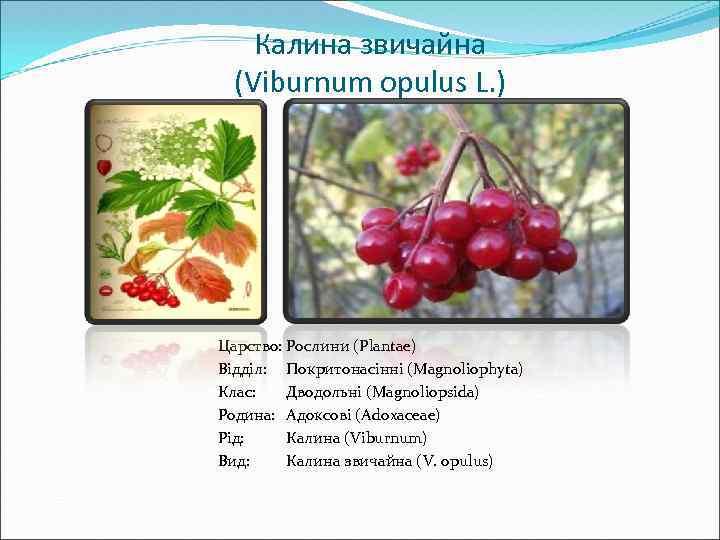 Калина звичайна (Viburnum opulus L. ) Царство: Рослини (Plantae) Відділ: Покритонасінні (Magnoliophyta) Клас: Дводольні