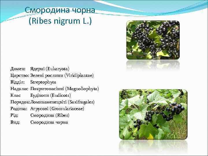 Смородина чорна (Ribes nigrum L. ) Домен: Ядерні (Eukaryota) Царство: Зелені рослини (Viridiplantae) Відділ: