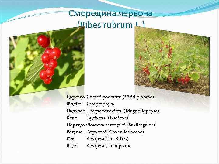 Смородина червона (Ribes rubrum L. ) Царство: Зелені рослини (Viridiplantae) Відділ: Streptophyta Надклас Покритонасінні