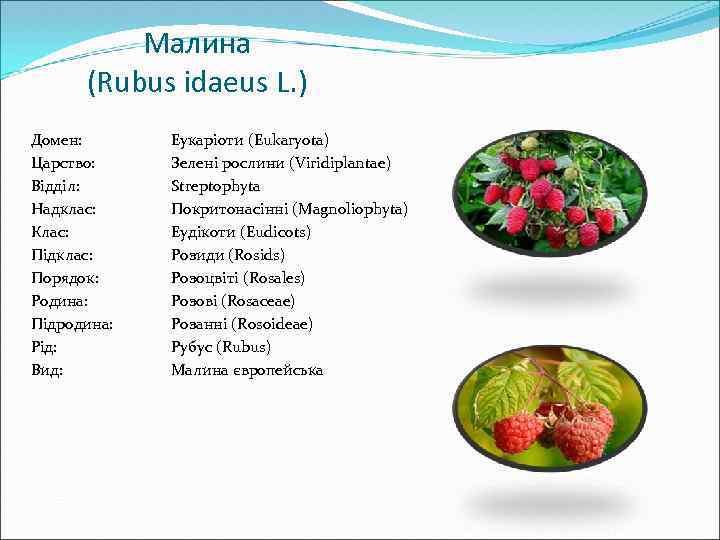 Малина (Rubus idaeus L. ) Домен: Царство: Відділ: Надклас: Клас: Підклас: Порядок: Родина: Підродина:
