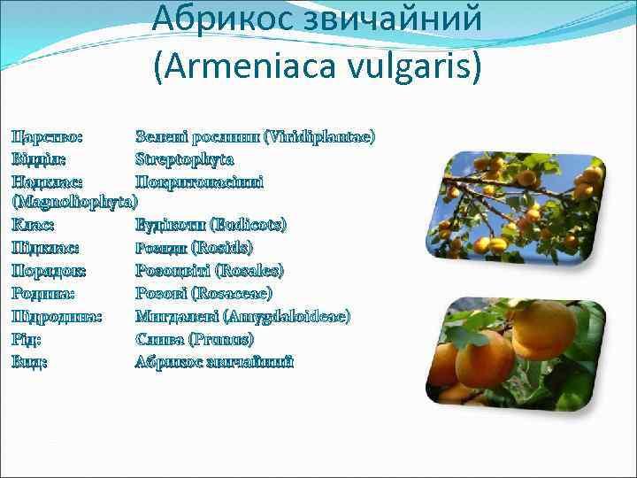 Абрикос звичайний (Armeniaca vulgaris) Царство: Зелені рослини (Viridiplantae) Відділ: Streptophyta Надклас: Покритонасінні (Magnoliophyta) Клас: