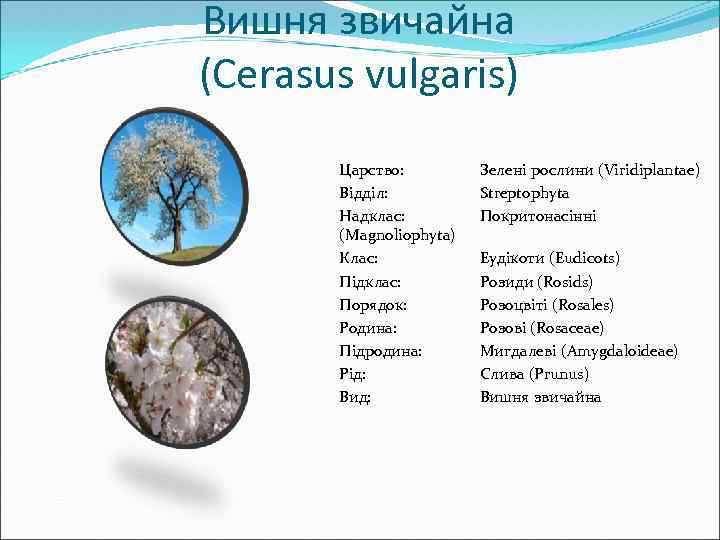 Вишня звичайна (Cerasus vulgaris) Царство: Відділ: Надклас: (Magnoliophyta) Клас: Підклас: Порядок: Родина: Підродина: Рід: