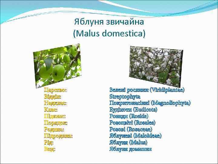 Яблуня звичайна (Malus domestica) Царство: Відділ: Надклас: Клас: Підклас: Порядок: Родина: Підродина: Рід: Вид: