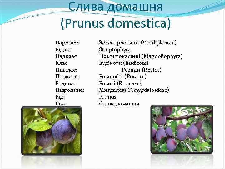 Слива домашня (Prunus domestica) Царство: Відділ: Надклас Клас Підклас: Порядок: Родина: Підродина: Рід: Вид: