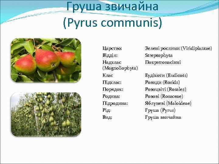 Груша звичайна (Pyrus communis) Царство: Відділ: Надклас (Magnoliophyta) Клас Підклас: Порядок: Родина: Підродина: Рід: