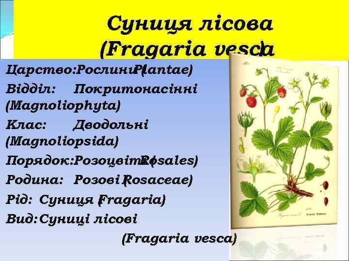 Суниця лісова (Fragaria vesca ) Царство: Рослини ( Plantae) Відділ: Покритонасінні (Magnoliophyta) Клас: Дводольні