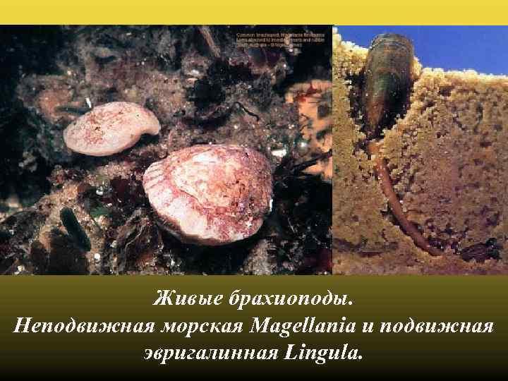 Живые брахиоподы. Неподвижная морская Magellania и подвижная эвригалинная Lingula.