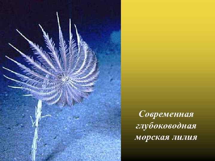 Современная глубоководная морская лилия